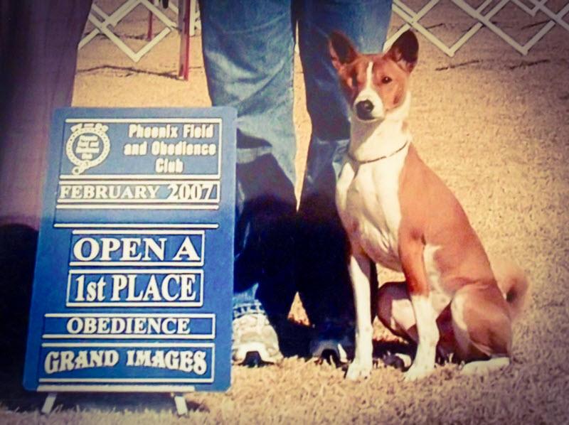 Basenji obedience class winner