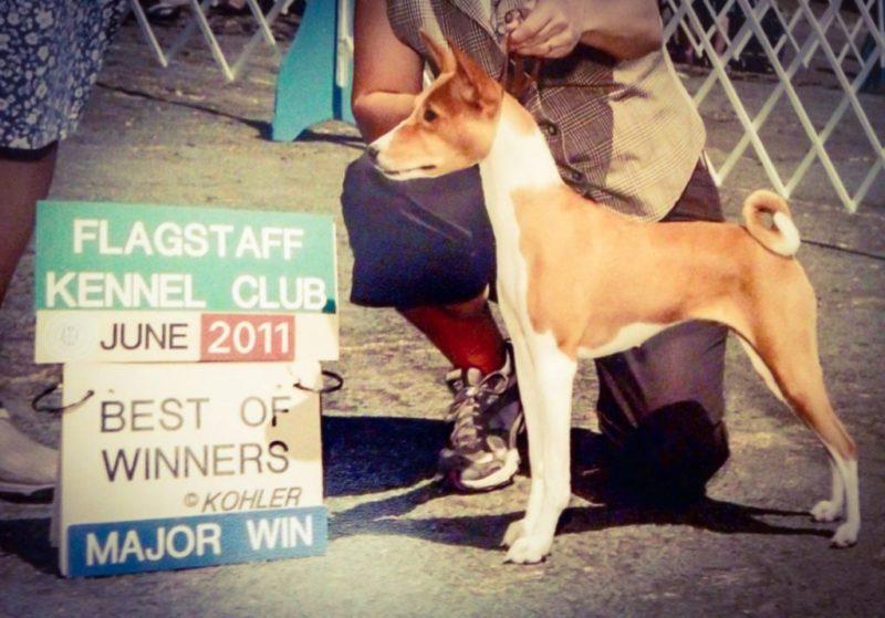 Basenji major win