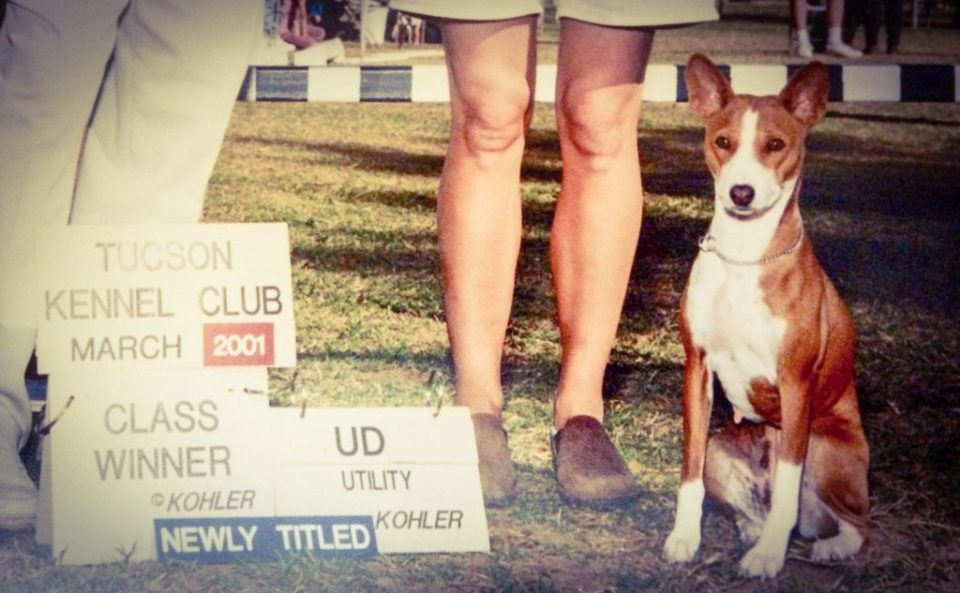 Basenji Utility Dog obedience