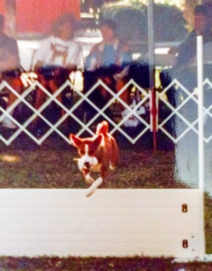 Basenji retrieve over the high jump