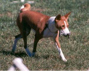 Basenji scent articles